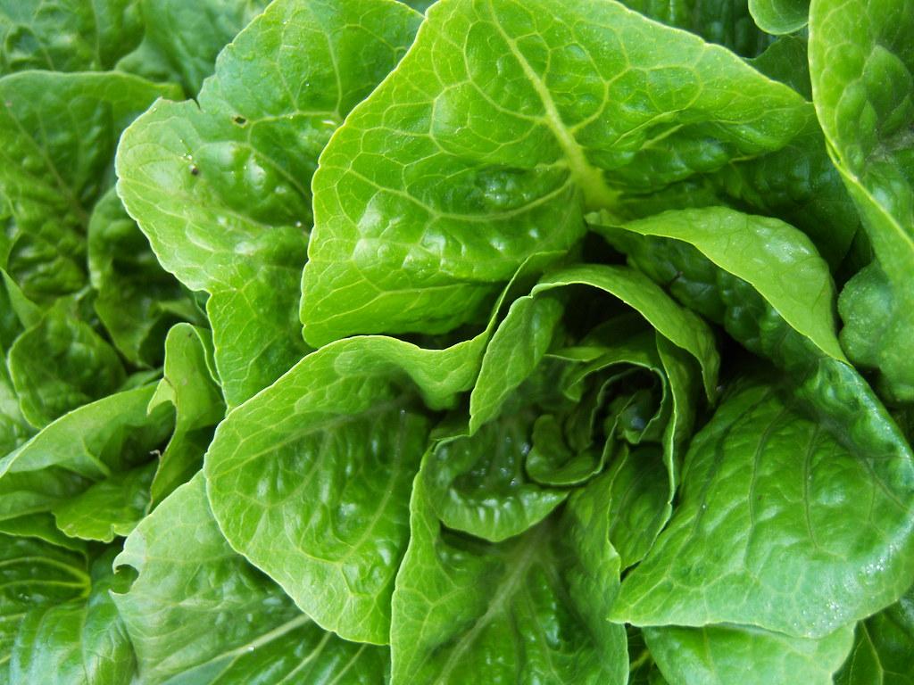 romaine lettuce cos lettuce, raw