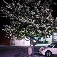 Flowering Trees 2017 Edition