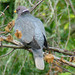 Flickr photo 'BAND-TAILED PIGEON  (Columba fasciata)' by: Maggie.Smith.