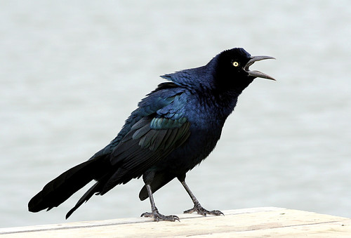 Noisy Grackle
