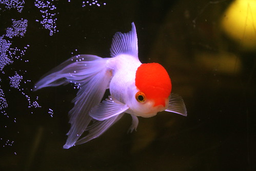 Consiglii per pesce rosso entrate yahoo answers for Pesce oranda