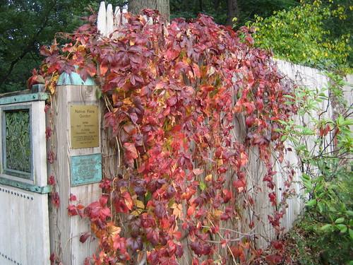 Parthenocissus quinquefolia fall color