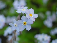 flower, plant, herb, flora, forget-me-not, petal,