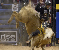 animal sports, rodeo, cattle-like mammal, bull, sports, bull riding,