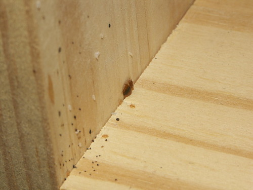 bed bug nymphs, eggs, feces, on wood