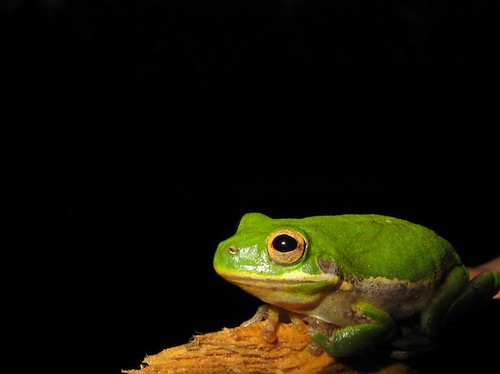Tree Frog @ Night