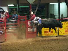 western riding(0.0), equestrian sport(0.0), fair(0.0), barrel racing(0.0), animal sports(1.0), rodeo(1.0), cattle-like mammal(1.0), bull(1.0), event(1.0), sports(1.0), bull riding(1.0),