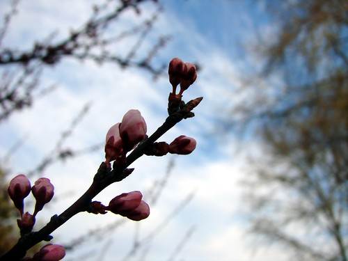 Thundercloud plum buds against sky