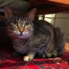 Our girl Mango tested NEGATIVE on her FeLV IFA test! She had previously tested positive on a snap test. This means she's been exposed to Feline Leukemia but it hasn't gotten into her bone marrow yet. She's now in a great foster home, and in a month we'll