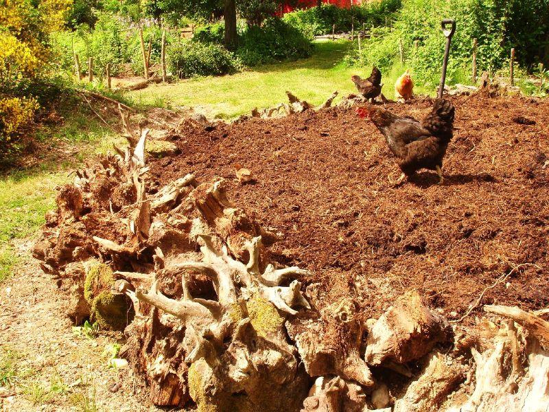 Chickens Around Raised Bed Garden