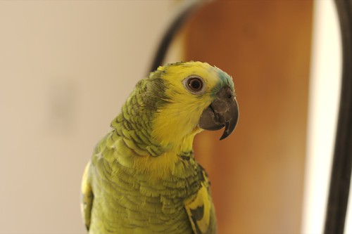 Blue front Amazon parrot