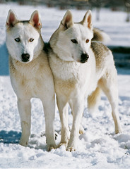 dog breed, animal, canis lupus tundrarum, west siberian laika, dog, hokkaido, winter, gray wolf, canaan dog, snow, pet, norwegian buhund, canadian eskimo dog, mammal, east siberian laika, greenland dog, wolfdog,