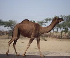 vicuã±a(0.0), guanaco(0.0), mustang horse(0.0), animal(1.0), mammal(1.0), fauna(1.0), camel(1.0), arabian camel(1.0),