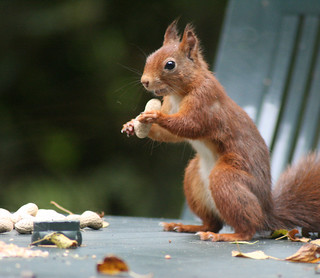 European Red Squirrel / Rode eekhoorn