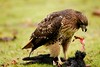 Red Tail Hawk 2 by Bryn Tassell