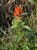 Coast Indian Paintbrush - Photo (c) Franco Folini, some rights reserved (CC BY-SA)