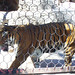 Small photo of Tigre de Bengala