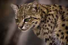 animal, small to medium-sized cats, fauna, close-up, cat, wild cat, ocelot, carnivoran, whiskers, wildlife,