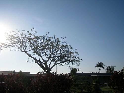 trees sunrise homestead delonixregia poinciana