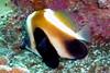 Phantom bannerfish - Bon Island, Thailand