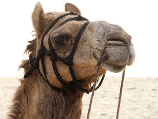 Image of Tannirbhavi Beach. portrait india beach animal mammal camel karnataka mangalore camelride beastofburden tannirbhavi krayker wildxplorer