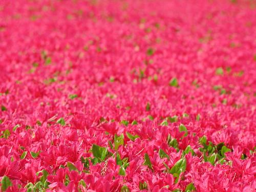 Azalea / Rhododendron / 躑躅(つつじ