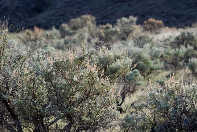 Sage brush | Flickr - Photo Sharing!