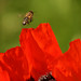 Bee on a poppy by Sergej Fomin