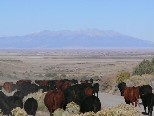 cattle sanluisvalley cattledrive mountblanca