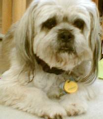 schnoodle(0.0), poodle crossbreed(0.0), spaniel(0.0), american cocker spaniel(0.0), dog breed(1.0), animal(1.0), dog(1.0), cavachon(1.0), pet(1.0), mammal(1.0), lhasa apso(1.0), dandie dinmont terrier(1.0), cockapoo(1.0), cavapoo(1.0),