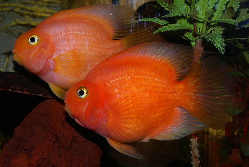 The blood parrot a guide to keeping a happy healthy for Red parrot fish