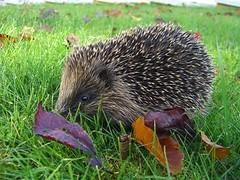 echidna, animal, porcupine, domesticated hedgehog, erinaceidae, fauna,