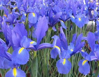 A never-ending field of beautiful iris!!!