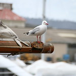 Captain Seagull