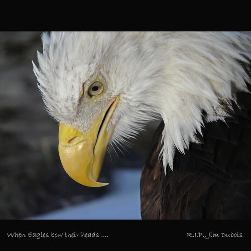 portrait canada calgary bird nature birds horizontal lumix zoo close adult eagle baldeagle raptor alberta pointandshoot sideview captive ornithology haliaeetusleucocephalus birdofprey calgaryzoo headbowed southernalberta annkelliott dmcfz40 fz40 panasonicdmcfz40 wemissyoujim strengthandpeacelinda tributetojimdubois