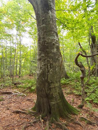 白神山地のブナ林