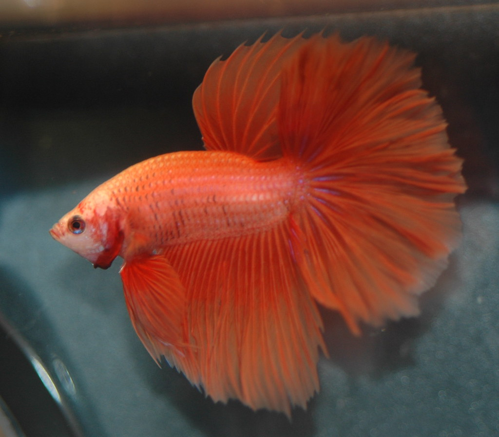 1000 images about fighting fish on pinterest betta for Beta fish water