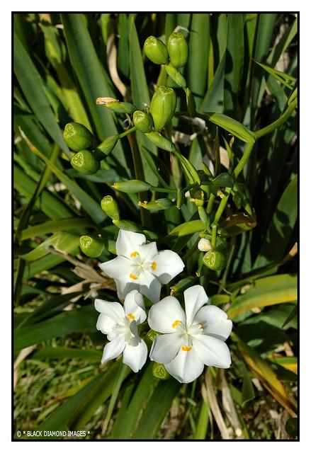 Dietes robinsoniana - Wedding Lily,Lord Howe Island