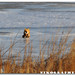 On the prowl - Red Fox at Bombay Hook National Wildlife Refuge (2 of 9)