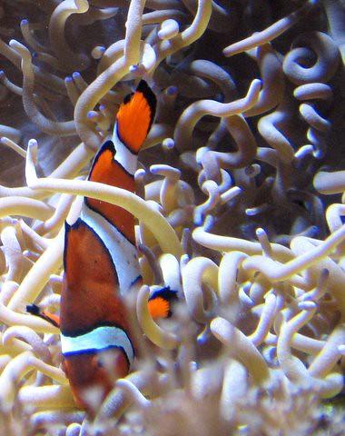 Ocellaris clownfish anemone - photo#14