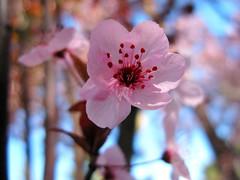 San Jose Cherry Blossom