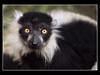 Black and White Ruffed Lemur (Varecia variegata) by guenterleitenbauer