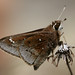 Dusted Skipper - Photo (c) cotinis, some rights reserved (CC BY-NC-SA)