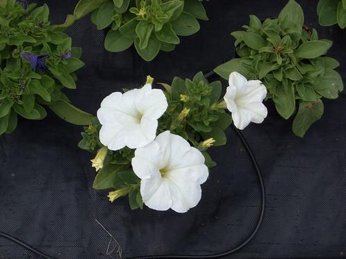 Petunia fiorista mariangela blog for Petunie inverno