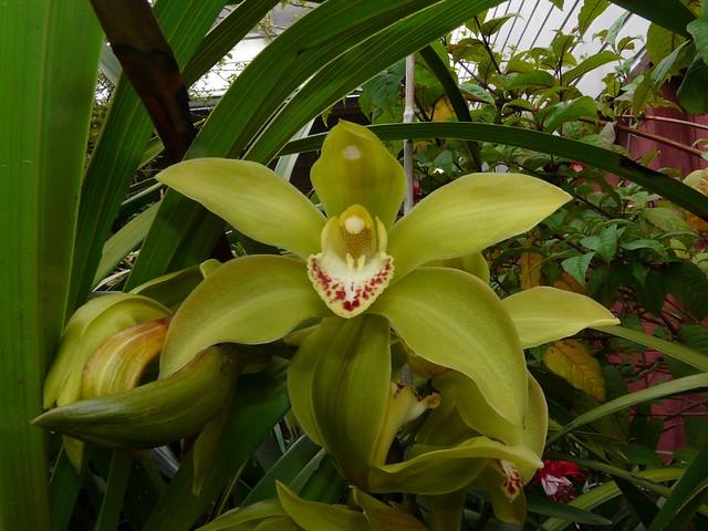 Cymbidium Nandi 'Green Giant' hybrid orchid