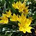 Liliaceae 百合科