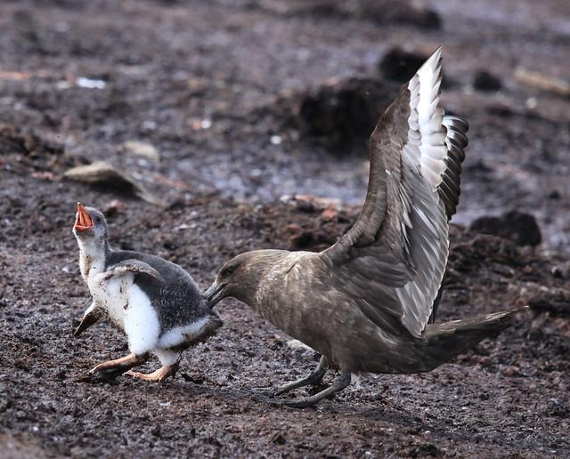 Págalo subantártico y pingüino papúa