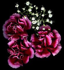 carnation, flower, purple, macro photography, flora, pink, petal,