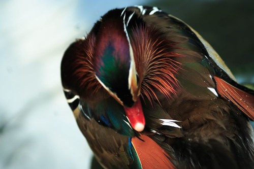 Nature & Bird - Mandarin Duck