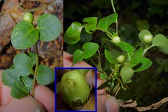 Mitchella repens L. - Partridgeberry